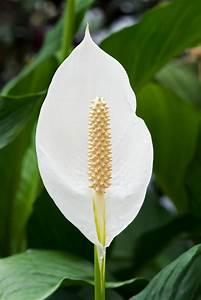 Pflegeleichte Zimmerpflanzen Mit Blüten : beliebte zimmerpflanzen sch ne pflegeleichte gr npflanzen ~ Eleganceandgraceweddings.com Haus und Dekorationen