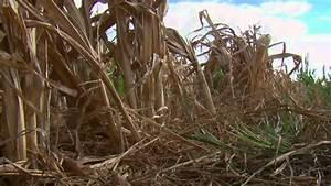 Scientists Develop Drought-Tolerant Maize - YouTube