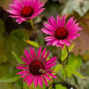 Sonnenhut Pflanze Kaufen : naturagart shop sonnenhut rot dunkle stiele online kaufen ~ Buech-reservation.com Haus und Dekorationen