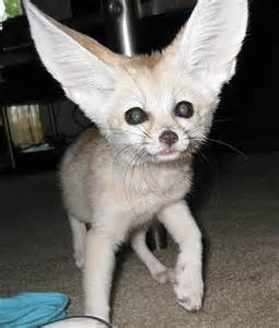 Exotic Animals Fennec Foxes