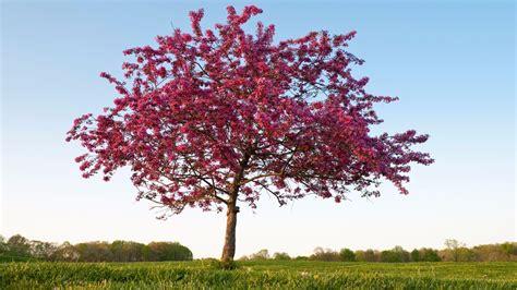 Prairifire Flowering Crabapple Rose Of The Tree World