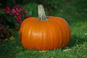 Connecticut Field Pumpkin Size file pumpkin jpg wikimedia commons