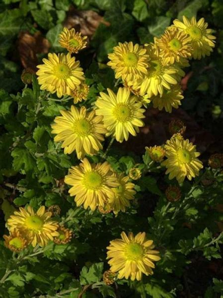 Garten Chrysantheme Kaufen by Chrysanthemum Hortorum Goldmarianne Winteraster