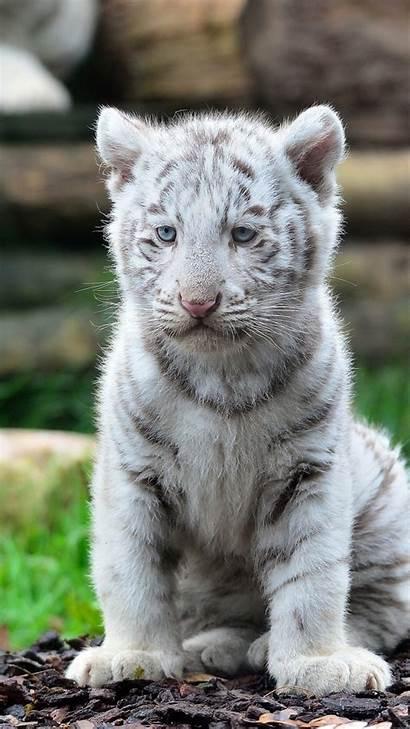 Tiger Siberian Cub Cubs Tigers Found Cat