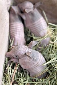 1000+ images about Armadillo on Pinterest