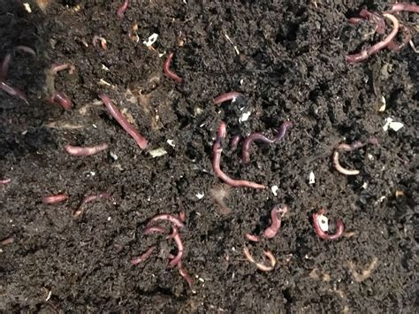 vermicompost worms wiggler