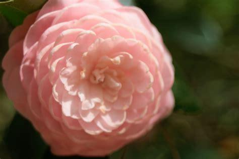 light pink camellia light pink camellia