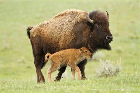 bison  awesome