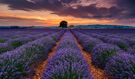france provence summer july  field lavender flower tree
