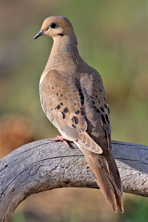 mourning dove wikipedia