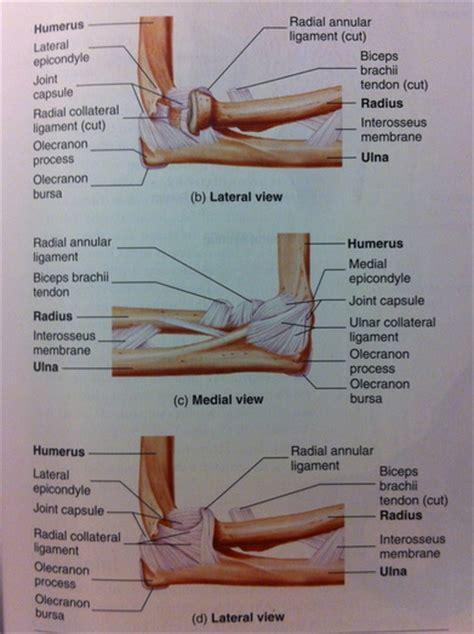 Elbow Anatomy - Musculoskeletal ultrasoundUpper extremities