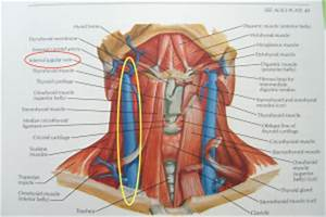 Throat Anatomy Pictures – Tonsil Pictures