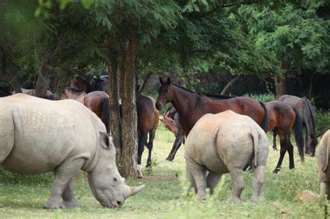 horse rhino africa being ant