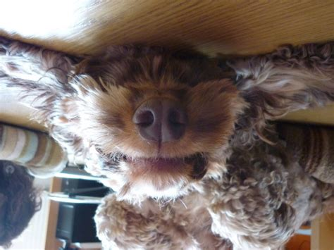 upside  dogs