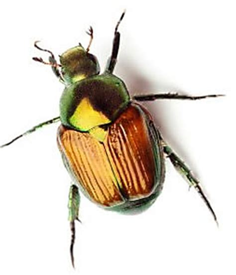 how to get rid of june beetles what are june bugs how can i get rid of june bugs