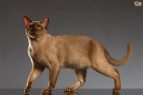 cat breeders burmese cat breed facts highlights buying advice