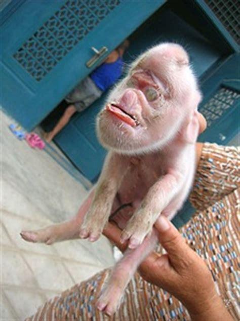 pig  monkey face boing boing