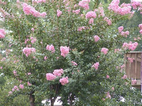 gene s garden crepe myrtle season