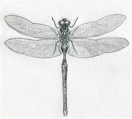 basic outlines of dragonflies images for gt simple dragonfly drawing