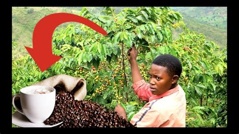 It's not one of africa's largest producing countries; The day I went to visit a Rwandan Coffee Plantation ...