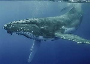Humpback whale, Vava'u, Tonga - Art Wolfe