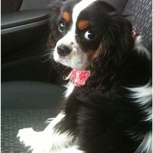 Tri color Cavalier King Charles Spaniel Puppy | Cuteness ...