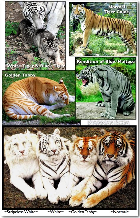 Spy Animals Golden Tabby Tigers