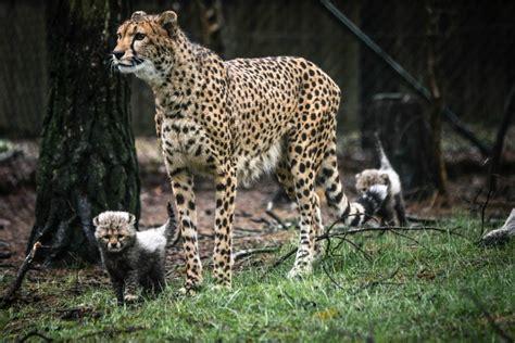 schattig de cheeta babys  de beekse bergen kidsweek de weekkrant voor kinderen van  tm