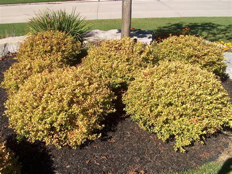 gold leaf spirea online plant guide spiraea japonica gold mound japanese gold mound spirea
