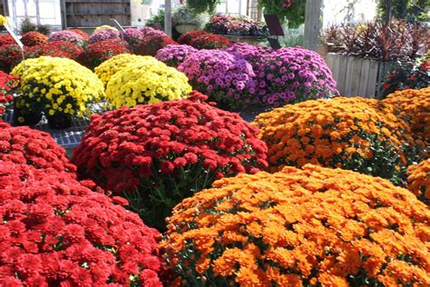 fall mums mums at stone creek nursery