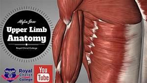 Upper Limb Muscle Anatomy