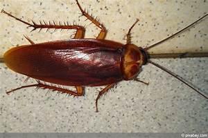 Können Kakerlaken Fliegen : kakerlaken info k nnen sie fliegen ist kakerlakenbefall ~ Watch28wear.com Haus und Dekorationen