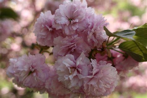 trees that pink flowers file pink flower bloom tree west virginia forestwander jpg wikimedia commons