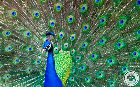 Animated Peacock Wallpapers - peacock wallpapers wallpaper cave