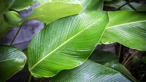 large leaf why leaf sizes vary with latitude