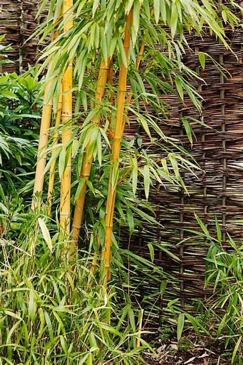 where to grow bamboo how to grow bamboo
