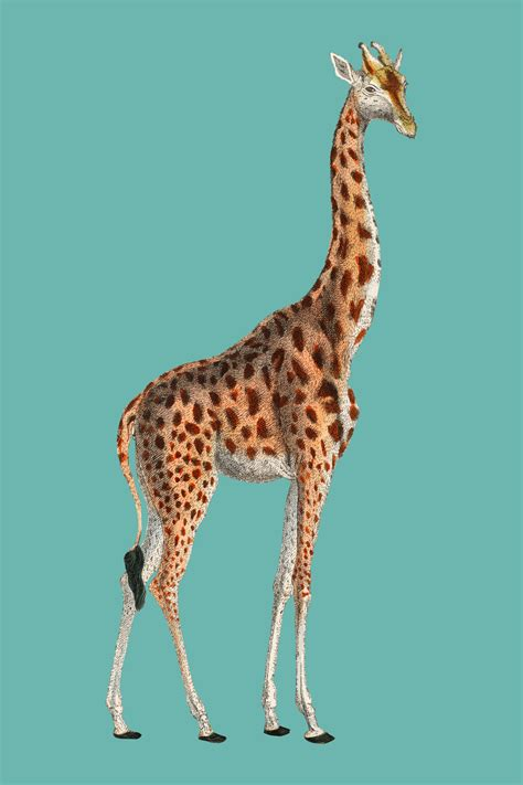 Camelopardis Giraffe - The Giraffe (1837) by Georges ...