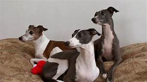 Italian Greyhound | Dogs 101 | Animal Planet