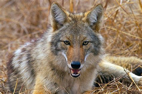 coyote animal mas temido imagenes  fotos
