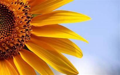 Sunflower Wallpapers Sunflowers Desktop Backgrounds Background Computer