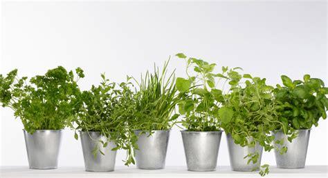 herbes aromatiques cuisine mon mini jardin de plantes aromatiques prima
