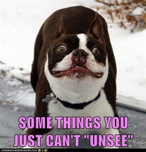 Boston Terrier Meme - slideshow boston terrier memes sure to make you smile ibostonterrier com boston terrier