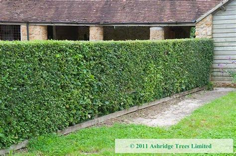 Native Conservation Hedging  Ashridge Nurseries