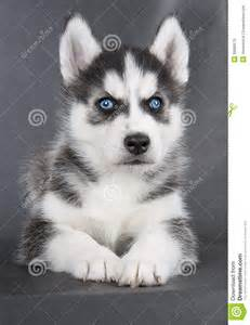 Grey Siberian Husky Puppy