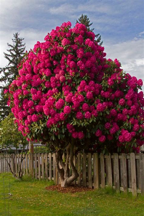 magical rhododendron tree xcitefunnet