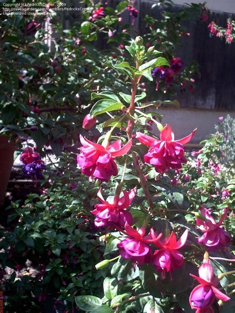 san leandro color plantfiles pictures fuchsia san leandro fuchsia by