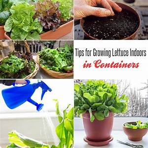 11 Tips for Growing Lettuce Indoors In Containers