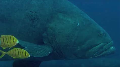 grouper sea snake queensland predators reef earth bbc deadly