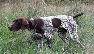 german shorthaired pointer dog breed standards
