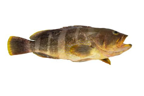 grouper fish hata